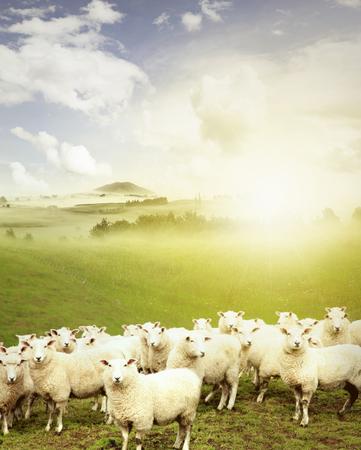 flock of sheep: Sheep standing in paddock facing camera, New Zealand