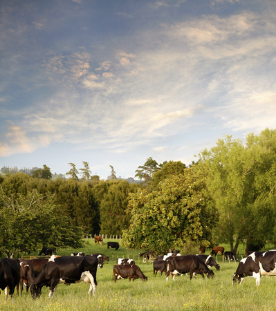 animal farm: Dairy cows in paddock, New Zealand