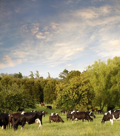 animales de granja: Las vacas lecheras en el paddock, Nueva Zelanda