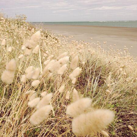 Closeup of fluffy seaside grasses Stock Photo