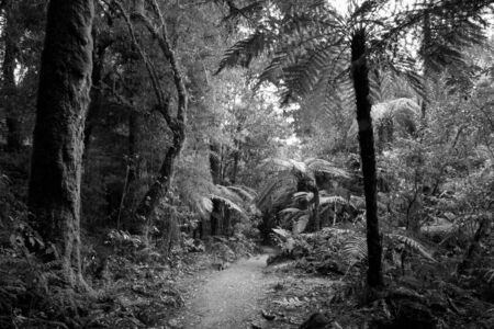 black forest: Trees and ferns in tropical jungle