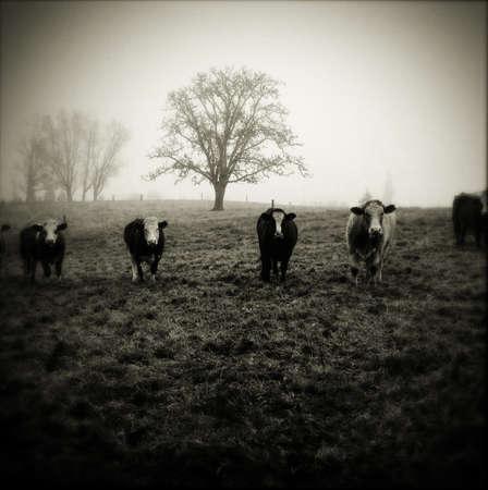 facing to camera: Livestock facing camera, foggy morning