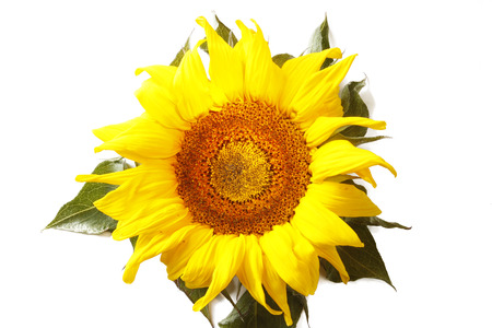floral objects: Closeup of sunflower on plain background