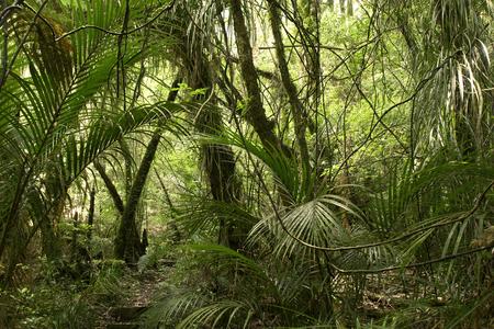 feuillage: Luxuriant feuillage vert dans la jungle tropicale