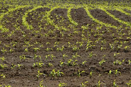 corn rows: Corn rows growing in soil Stock Photo