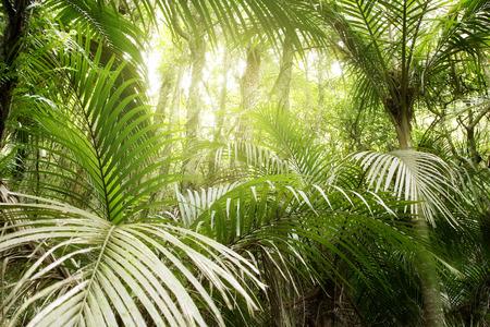 tropicale: Luxuriant feuillage vert dans la jungle tropicale