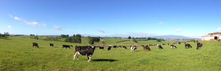 paddock: Dairy cows in paddock, New Zealand