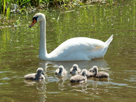 Beautiful swan with her cygnets on the canal