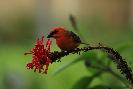 Tropical Red Fody gathering petals Stock Photo