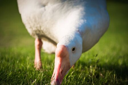 Beautiful White goose