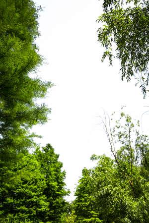 arboles frondosos: Árbol verde con fondo blanco Foto de archivo