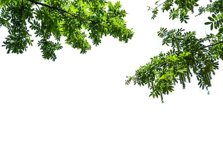 Grüner Baum mit weißem Hintergrund Standard-Bild - 81871235