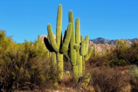 saguaro cactus: Majestic Saguaro Cactus in the Arizona Mountains Stock Photo