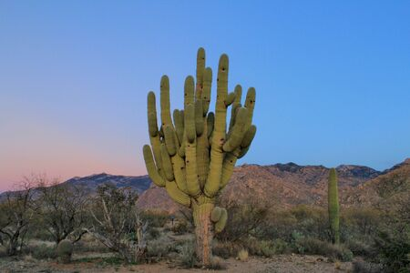 saguaro cactus: Giant Old Desert Saguaro Cactus pt2