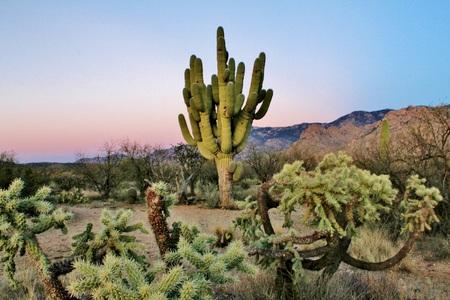 saguaro cactus: Giant Old Desert Saguaro Cactus Stock Photo