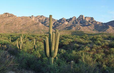 saguaro cactus: Desert Saguaro Cactus Stock Photo