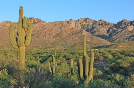 arizona scenery: Desert Saguaro Cactus Stock Photo