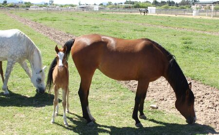 Young Foal and Mother Horse 免版税图像