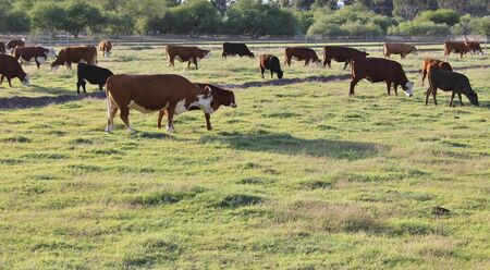 herd: Herd of Grazing Cows