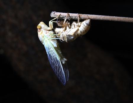 langosta: La langosta del desierto derramar su piel por la noche