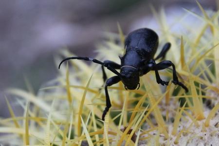 Big Black Beetle Bug Crawling acrooss a Cactus Reklamní fotografie