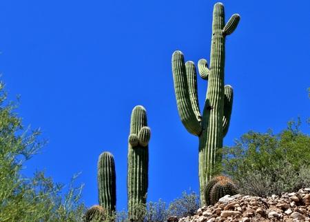 saguaro cactus: Desert southwest saguaro cactus