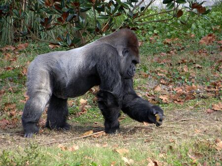 A giant gorilla finds an interesting leaf on the ground