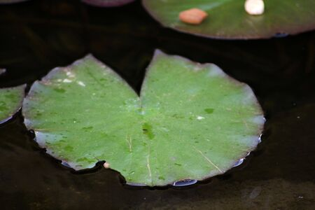 연못에 녹색 릴리 패드 스톡 콘텐츠