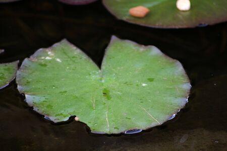 lirio de agua: Almohadilla de lirio verde en un estanque