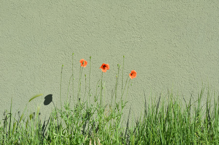 Poppies on green meadow with green background