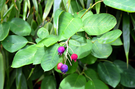 Berries hanging on a branch with leaves