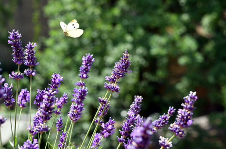 Yellow butterfly flies over purple lavender blossoms Stok Fotoğraf