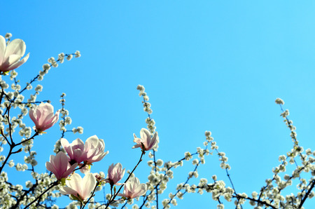 Magnolia blossoms and cherry blossoms on branches against a blue sky