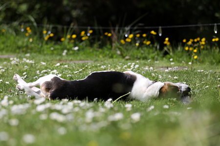 beagle terrier: Cute dog in the meadow