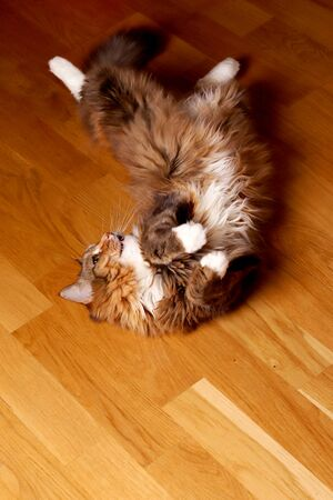 Cat, a long-haired cat with green eyes. The cat lies on a wooden floor. Domestic cat. old cat three-color cat fur coat
