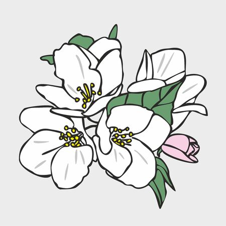 Vector drawing of flowers and leaves of Apple trees, hand-drawn illustration. Blooming Apple tree. Branch with flower buds. The first spring flowers. White flowers, pink buds, isolated background.
