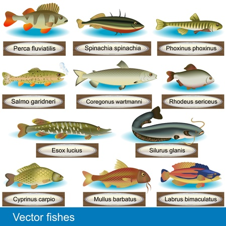Illustration of different kind of fishes, along with their Latin names. Vector