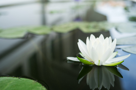 The beautiful white lotus flower or water lily reflection with the water in the pond