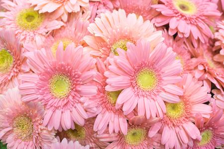 Close up of beautiful pink gerbera flower background 写真素材