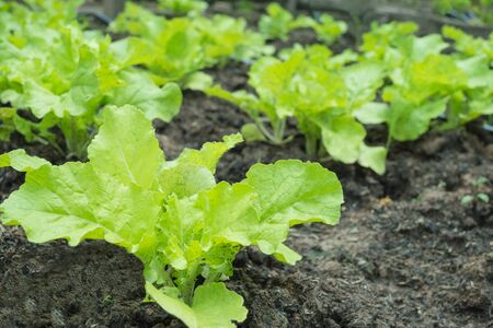 close-up of fresh salad vegetables in the vegetable garden