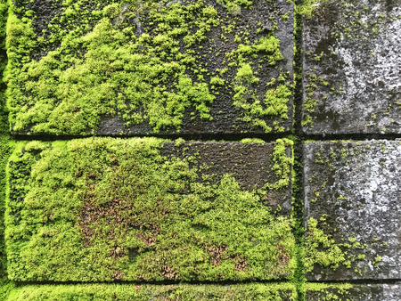 moss and lichen covered the old wall. Green moss Background texture 写真素材