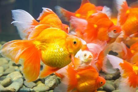 many of Goldfish swim carefree in aquarium with stones