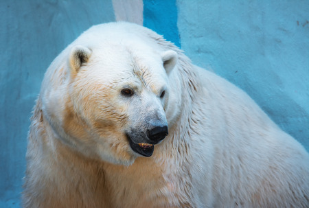 endangered species: Closeup portrait of an old polar bear, an endangered species from the zoo Stock Photo