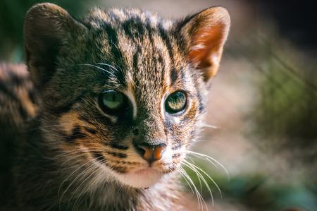eyes cave: portrait European Wild Cat ,Felis silvestris in zoo