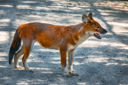 canid: Red Fox belongs to the Dog family Stock Photo
