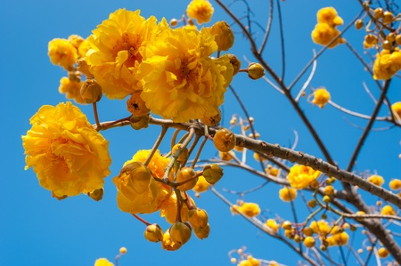 Yellow Nika flowers