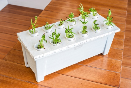 Hydro plant grow without soil  photo