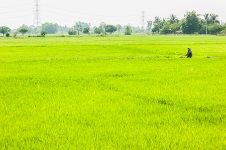 rice paddy: Green Rice Field with farmer