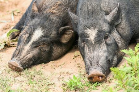 pig nose: Black pigs in farm