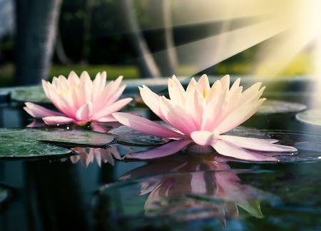 Piękne Lotus, lilii wodnych w stawie